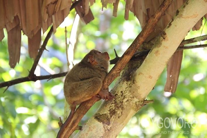 Тарсиер лезет на дерево