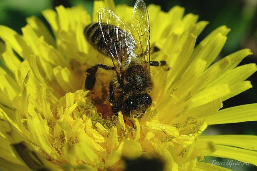 Пчела в работе